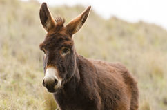 Donkey. In the Andes in Ecuador Royalty Free Stock Image