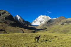 Donkey in the Andes mountains Royalty Free Stock Image