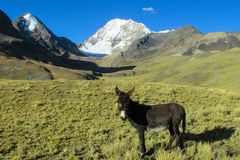 Donkey in the Andes mountains Stock Images