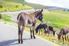 Donkey animal in the road. Of Transalpina, Romania mountains Royalty Free Stock Image