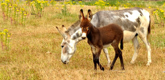 Donkey Royalty Free Stock Photo