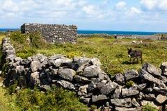 Donkey in Aran island. Donkey in Inishmore the main Aran Island Stock Image