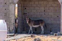 Donkey or Ass Equus africanus asinus hiding from the hot desert sun in a construction site in the United Arab Emirates. UAE royalty free stock photo