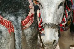 Donkey ass face. Donkeys amongst the sandstone desert landscape of petra jordan in a humorous composition Stock Photo