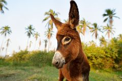 Donkey Baby. Is a cute curious shy baby donkey with great big adorable floppy ears looking right at you stock photo