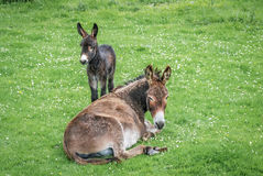 Donkey and baby Royalty Free Stock Images