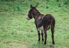 The donkey from a back Royalty Free Stock Image