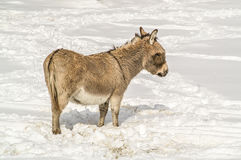 Donkey with Bangs in Snow Royalty Free Stock Image