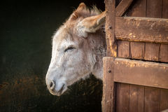 Donkey in a barn Stock Photos