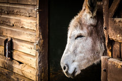 Donkey in a barn Royalty Free Stock Images