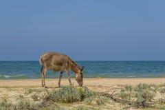 Donkey on the beach at Kalpitiya lagoon, Sri Lanka Royalty Free Stock Photography