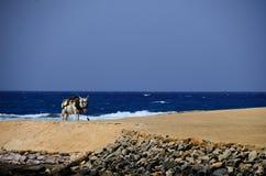 Donkey on beach and sea Royalty Free Stock Image