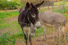 Donkey behind metal fence Stock Image