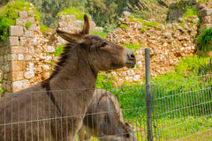 Donkey behind metal fence Royalty Free Stock Photos