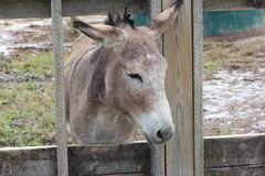 Donkey behind Wooden Fence Royalty Free Stock Image