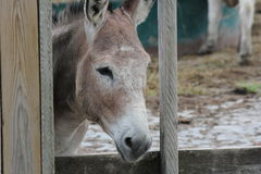 Donkey behind Wooden Fence Stock Photo