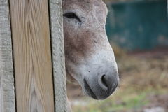 Donkey behind Wooden Fence Royalty Free Stock Images