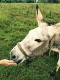 Donkey Being Fed an Apple. Close-up of the donkey's face while he is being fed an apple stock photo