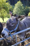Donkey on meadow, pasture, leaks in the salt, salt stone. Donkey on the belt, pasture, leaks in the salt, salt stone Royalty Free Stock Image