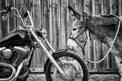 The donkey and the bike. Obstinate donkey discovering a chopper like motorbike Royalty Free Stock Photos