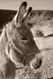Donkey in black and white. Grey donkey portrait in a meadow Stock Photo