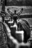 Donkey. Black and white image of a donkey by a fence, front on royalty free stock photos