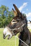 Donkey braying. Big donkey braying on pasture Stock Photos