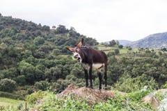 A donkey braying Royalty Free Stock Photo