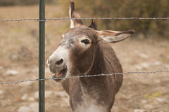 Miniature Donkey braying. Portrait of a male jackass donkey braying behind a barbed wire fence Royalty Free Stock Images