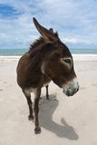 Donkey On A Brazilian Beach Stock Photo