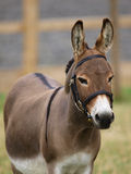 Donkey In Bridle Stock Image
