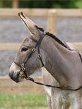 Donkey In Bridle Stock Image