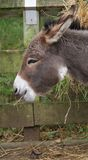 A Donkey. A Brown Donkey against a fence Royalty Free Stock Image
