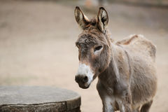 Donkey of brown color Royalty Free Stock Photo