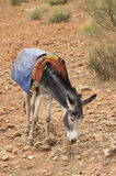 Donkey of burden looking for food in desert Royalty Free Stock Image