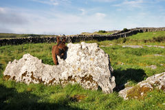 Donkey in The Burren, Ireland Stock Photo