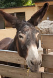 Donkey in captivity Stock Image