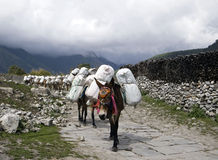 Donkey caravan. In Himalayas, Nepal Royalty Free Stock Photography