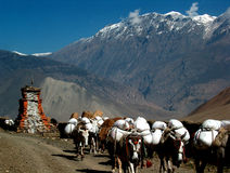 Donkey Caravan. Donkeys transporting goods in the Annapurna Mountain Range, Nepal Royalty Free Stock Image
