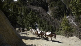 Donkey caravan in Nepal stock video