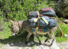 Donkey carry cargo. On the mountain path. Donkey caravan Stock Photos