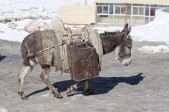 Donkey is carrying fuel cans in the mountains on the road Leh - Manali, Ladakh, India Stock Photos