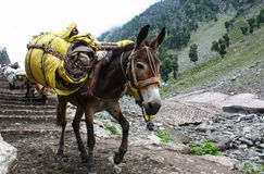 Donkey carrying heavy supplies and luggage. On the mountain Stock Images