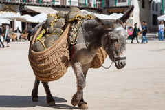Donkey carrying a sunflower in chinchon near madrid. Royalty Free Stock Photo