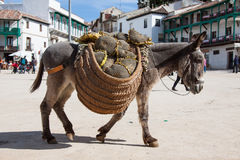 Donkey carrying a sunflower in chinchon near madrid. Stock Image