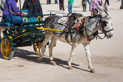 Donkey carrying a sunflower in chinchon near madrid. Stock Photography