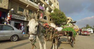 Donkey with cart alongside road in Giza stock video