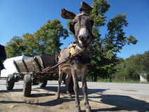 Donkey and cart. A donkey hitched to a cart, with blue sky in background in a sunny day Royalty Free Stock Images