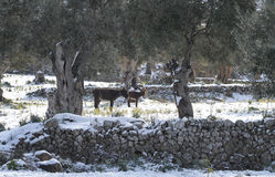 Donkey cattle winter peaceful pasture. Donkey cattle grazes and pasture under olive trees on a rainy day landscape near the village of Deia, in the Spanish Stock Images