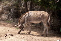 Donkey in Chains Royalty Free Stock Photography
